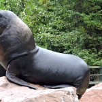 400 kg bringt diese Robbe auf die Waage. Wenn sie in's Wasser springt, sollte man Abstand halten.
