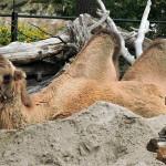 Bei den Kamelen ruht man.